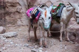 Donkeys awaiting rider Petra Jordan