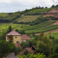 Grapes growing on the Tokaj hillsides