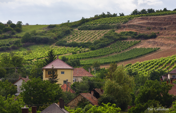 Grapes growing on the Tokaj hillsides