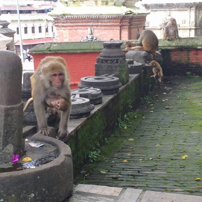 Monkeys in Katmandu Nepal