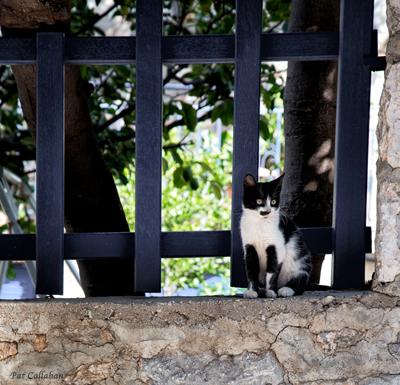 A Greek kitten